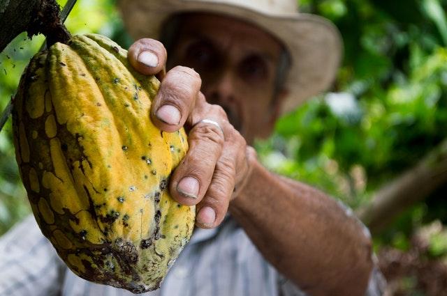 muž sbírá kakaový bob